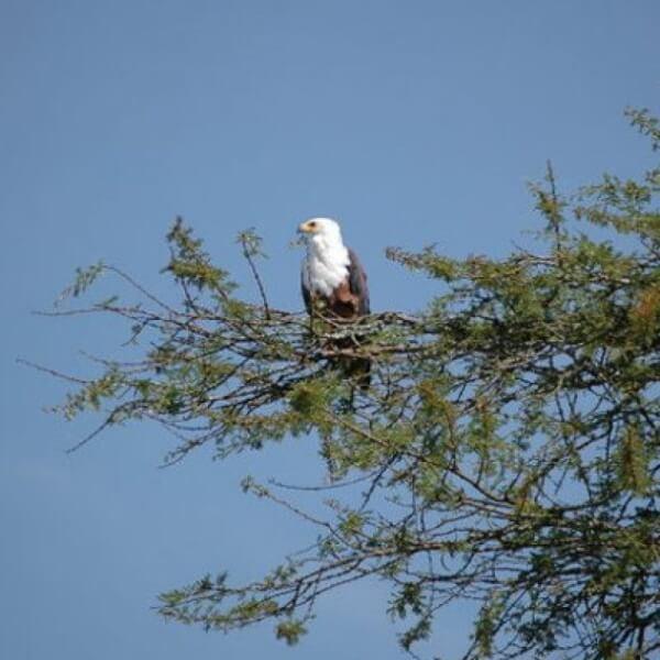 Adler im Baum